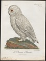 Nyctea nivea - 1796-1808 - Print - Iconographia Zoologica - Special Collections University of Amsterdam - UBA01 IZ18400017.tif