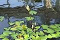 Nymphaea Daubeniana 0zz.jpg