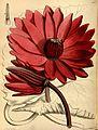 Nymphaea lotus Paxton 98.jpg