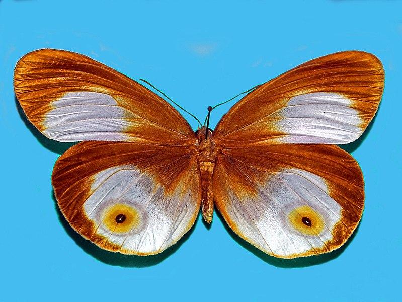 Bộ sưu tập cánh vẩy 5 - Page 29 800px-Nymphalidae_-_Taenaris_phorcas_%28upperside%29