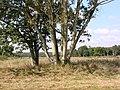 Oak and Ash - geograph.org.uk - 556807.jpg