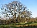 Oak trees, Cairnsmore - geograph.org.uk - 652207.jpg