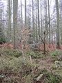 Oak trees under Larch - January 2012 - panoramio.jpg