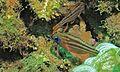 Ochre-striped Cardinalfish (Apogon compressus) (6053376484).jpg