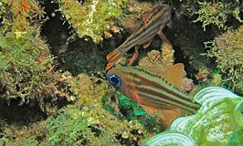 Ochre-striped Cardinalfish (Apogon compressus) (6053376484).jpg