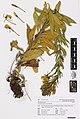 Oenothera glazioviana Micheli (AM AK350506).jpg