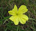 Oenothera macrocarpa Tennessee.jpg