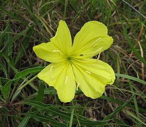 Oenothera macrocarpa - Image: Oenothera macrocarpa Tennessee