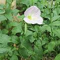 Oenothera speciosa-IMG 1578.jpg