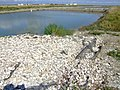 Old Oyster Shells - panoramio.jpg