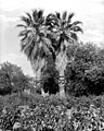 Old palm trees of Raymond Hill, South Pasadena, ca.1920 (1895?) (CHS-1326).jpg