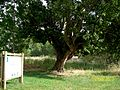 Old poplar Calzada.JPG