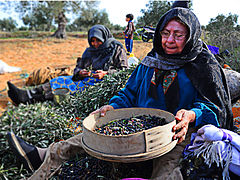 Old woman cleaning olives.jpg