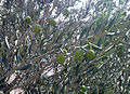 Olive trees in Saveh.jpg