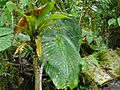 One Leaf Plant (Monophyllaea merrilliana) (8415446405).jpg