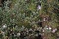 Ononis spinosa-Bugrane épineuse-201604171.jpg