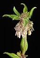 Opercularia echinocephala - Flickr - Kevin Thiele.jpg