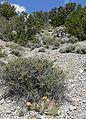 Opuntia polyacantha 10.jpg