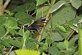 Orange-billed Sparrow (Arremon aurantiirostris) (5772418200).jpg