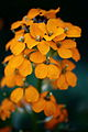 Orange-spring-wildflowers-verticle - West Virginia - ForestWander.jpg