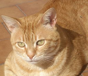 English: Orange tabby cat