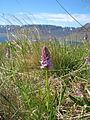 Orchid at Dynjandisvogur.jpg