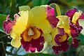 Orchidaceae - Alipore - Kolkata 2013-02-10 4743.JPG