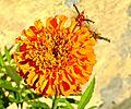 Orgyia Antiqua Caterpillar.jpg