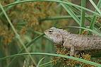 Oriental garden lizard 09809.JPG