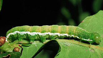 Hebrew character - Caterpillar