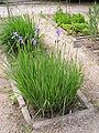 OrtoBotPadova Iris sibirica.jpg