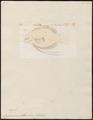 Osphronemus olfax - 1700-1880 - Print - Iconographia Zoologica - Special Collections University of Amsterdam - UBA01 IZ13800017.tif