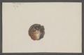 Ostrea echinata - - Print - Iconographia Zoologica - Special Collections University of Amsterdam - UBAINV0274 074 08 0059.tif
