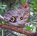 Owl butterfly Reese.jpg