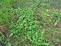 Oxalis corniculata plant6 (14707255535).jpg