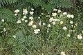 Oxeye daisies on Magazine Road, Bromborough.jpg