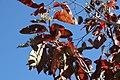 Oxydendrum arboreum 45zz.jpg