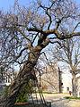 P1240501 Paris V jardin des plantes Catalpa bignonioides rwk.jpg