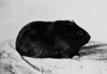 PSM V67 D205 Short haired smooth pigmented guinea pig.png