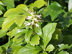 pachysandra procumbens  Japanska pachysandra ( Pa...