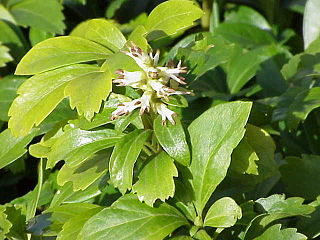 <i>Pachysandra</i> genus of plants