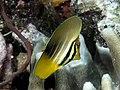 Pacific sailfin tang juvenile (Zebrasoma veliferum) (37158678772).jpg