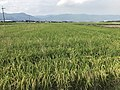 Paddy fields near Kanzaki Station 2.jpg