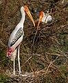 Painted Stork (Mycteria leucocephala) nesting in Garapadu, AP W2 IMG 5285.jpg