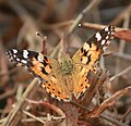 Painted lady butterfly image.jpg
