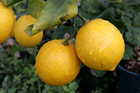 http://upload.wikimedia.org/wikipedia/commons/thumb/5/56/Pair_of_lemons.jpg/200px-Pair_of_lemons.jpg