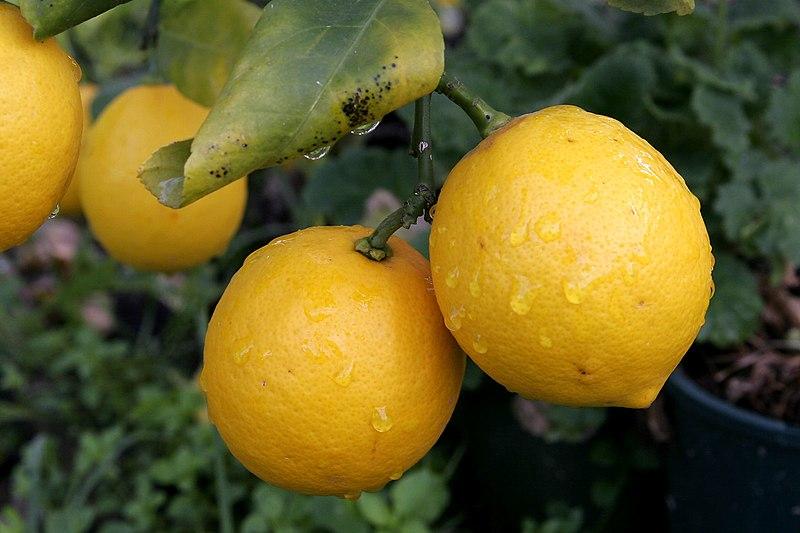 File:Pair of lemons.jpg