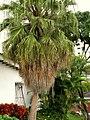 Palma livistonia (Livistona chinensis) (14342419499).jpg