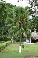 Palma livistonia (Livistonia chinensis) (14334949780).jpg