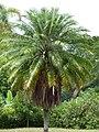 Palma robelina (Phoenix roebelenii) - Flickr - Alejandro Bayer.jpg